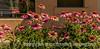 Echinacea (Purple Cone Flower)