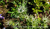 Erygium ( Sea Holly)