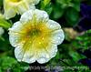 Petunia and Water Drops