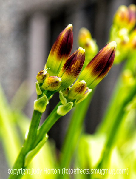 Day Lily Buds