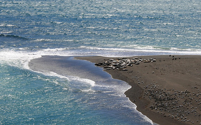 Harbor Seals and/or Sea Lions: Sonoma Coastline at Jenner: Mouth of the Russian River; 14 Aug 2009