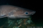 Sixgill shark (Hexanchus griseus) in Seattle, WA