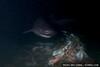 Sixgill shark (Hexanchus griseus) in Seattle, WA