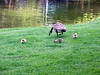 Goslings at the Microsoft campus in Redmond, WA.