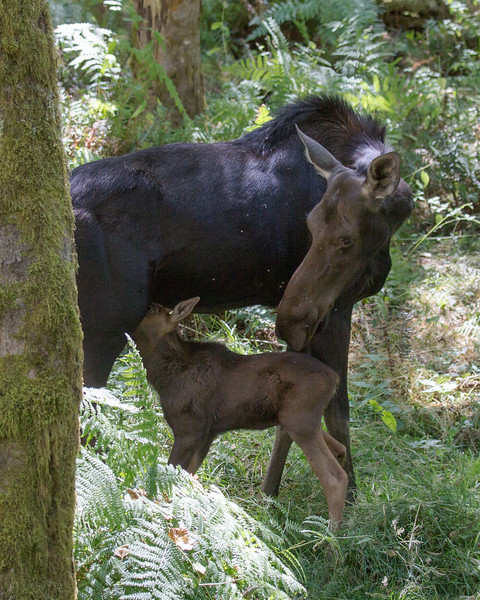 Moose with calf, Northwest Trek, Eatonville WA.
