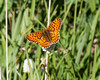 Glanville Fritillary, Olympic Mountains  Olympic National Park