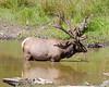 Elk, Northwest Trek Eatonville WA