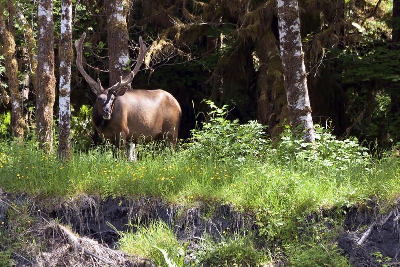 Elk, Hoh Rain Forest