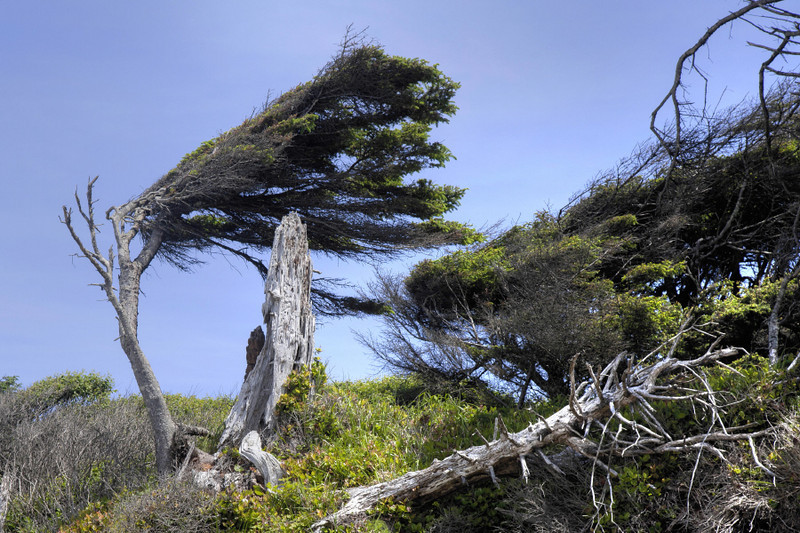 Wind Blown, Olympis National Park