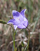 Harebell, Olympic National Park