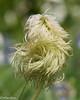 Pasqueflower Seedhead