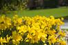 036 - Daffodils (near focus) - DSC_6486