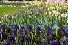043 - More Tulips -DSC_6493
