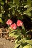 097 - Tulips - DSC_5763