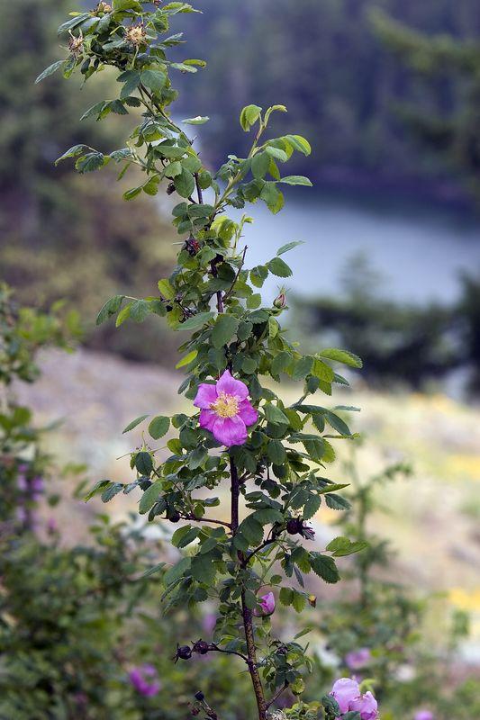 Wild Rose at Deception Pass