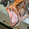 Monkfish - a closeup of a Monkfish mouth at Seattle's City Fish Market in Pike Place Market.