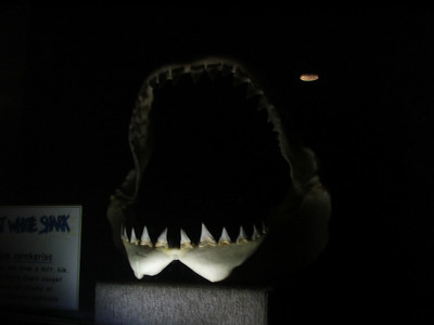 White Shark's Jaw