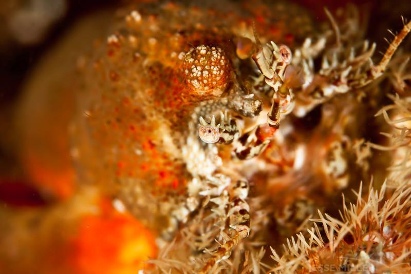 Crab - Dive 5 of 7 - Argonaut Point, Floughty Head