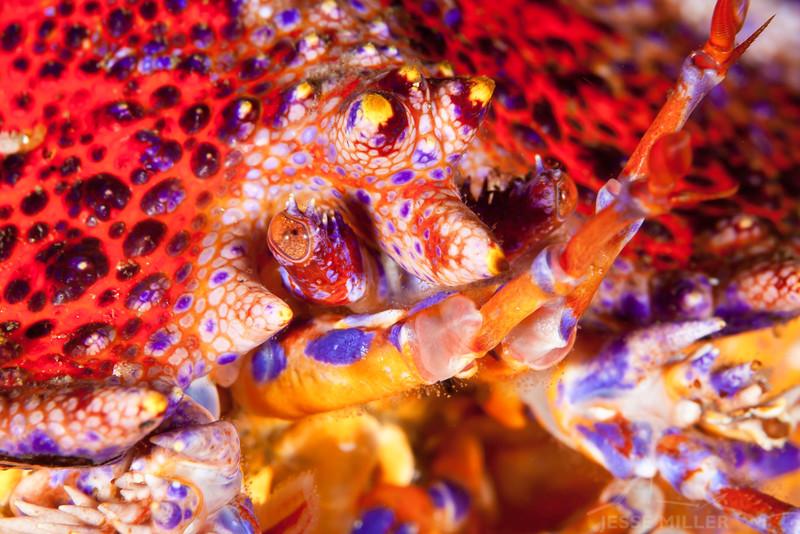 Puget Sound King Crab - Dive 4 of 7 - Nemo's Leap, Flood
