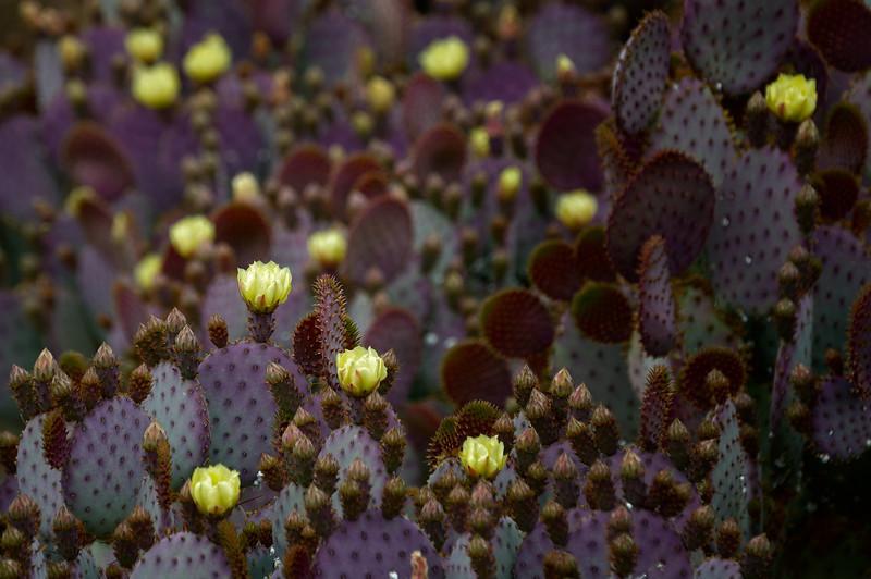 Desert Botanical Garden, Prickly Pear Cactus