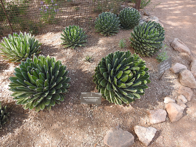 Back outside, we came across Queen Victoria Agave.