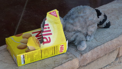 At the visitor's center Raccoons love Nilla wafers