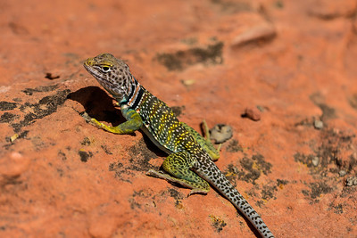 Collard Lizard.