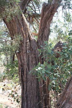 Ponderosa Pine (twisted bark)