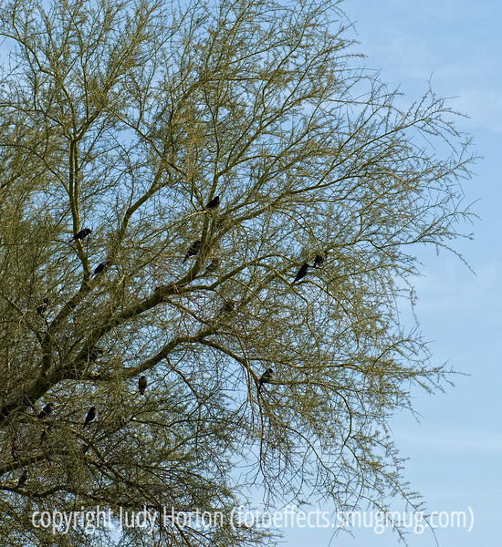 Blackbirds roosting in a tree in Sedona, Arizona; best viewed in the largest sizes