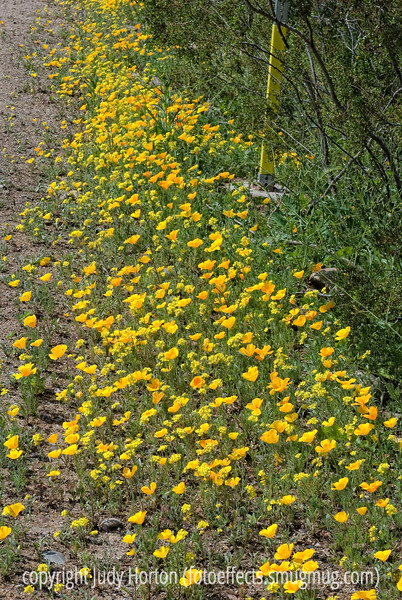 California poppies and another yellow wildflower blooming alongside a road in Arizona