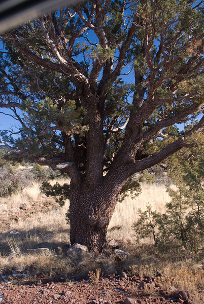 Alligator Bark Juniper