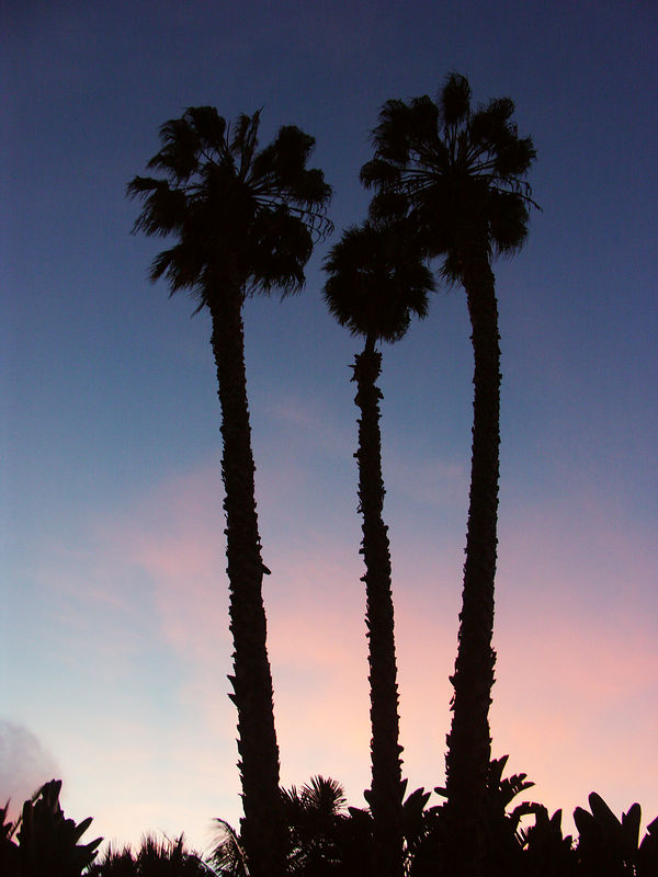 Palm trees are taller than at times they may seem,