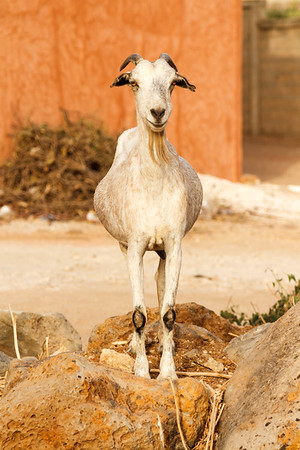 Bearded goat staring
