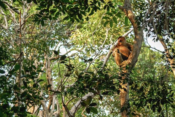 The dominant male of a troop of proboscis monkeys rest on a tree.