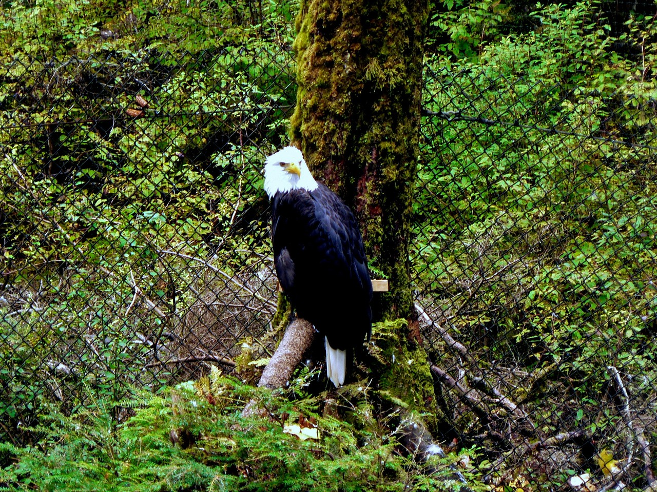 One of the resident eagles.