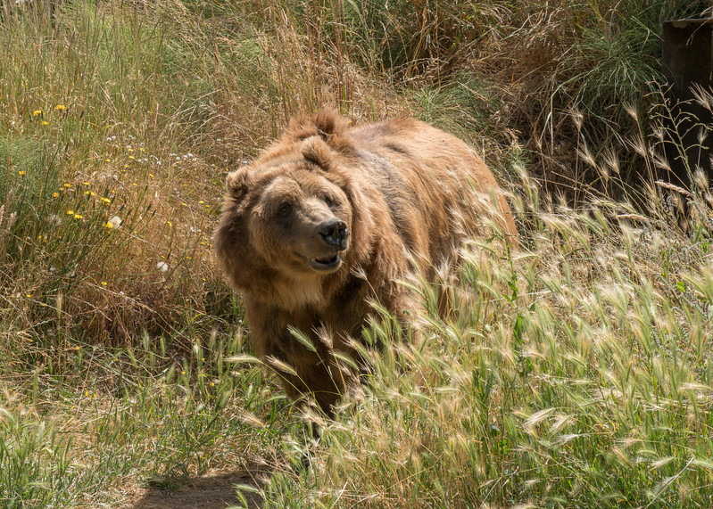 Kodiak Bears