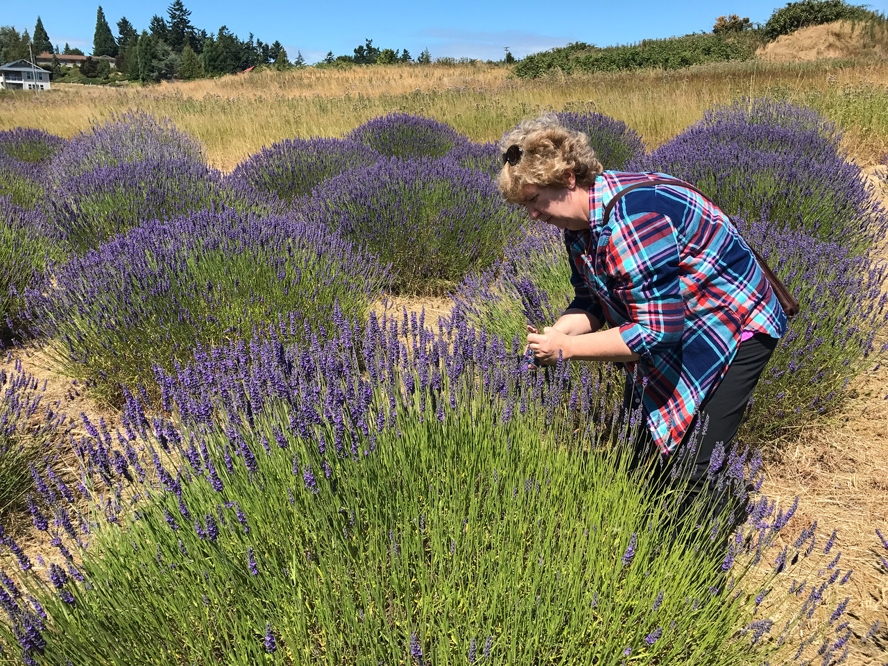 You-pick lavender