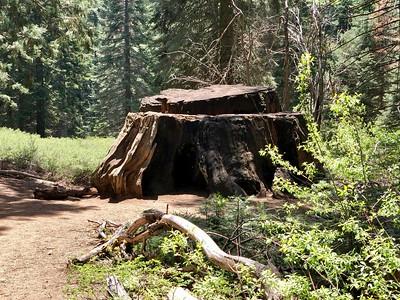 A Stump on the Big Stump Trail