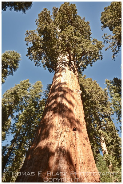 "General sherman tree, purported to be ""world's largest living object."""