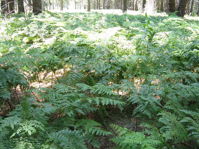 Lots of ferns in the shadows of the trees.