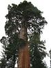 Sentinel Tree.