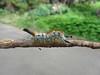 Very ornate caterpillar.