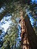 Towering redwood in the sun