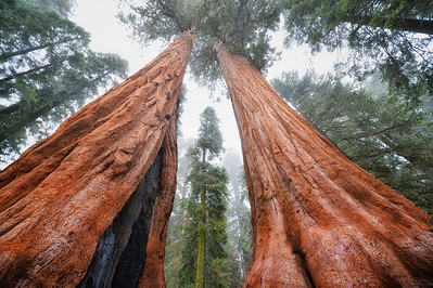 The small tree is framed by the two large Sequoia Trees.