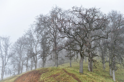 Spooky but beautiful trees in the mist