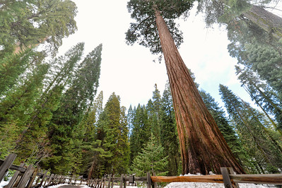 up and up and up - these Sequoia's don't ever seem to stop their ascent.