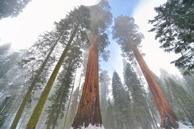 Giant Sequoia in the Mist