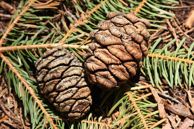 Giant Sequoia cones - about two inches long.