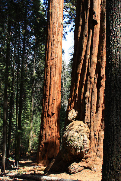 Tree tumor