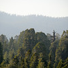 Sequoias<br /> These sequoias are in the Giant Forest Grove, viewed from Moro Rock. We learned that when sequoias get to their peak height, the top dies (seen here) but they continue to grow wider until the whole tree dies.